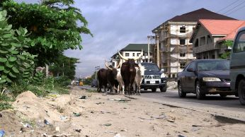 Lagos cows
