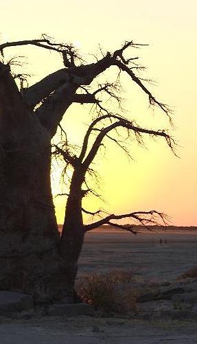 baobab crop