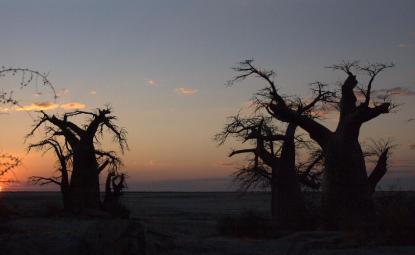 Baobab Makgadikgadi 2